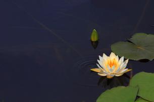 蓮の花の写真素材 [FYI01261887]