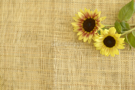 ヒマワリの花の写真素材 [FYI01261935]