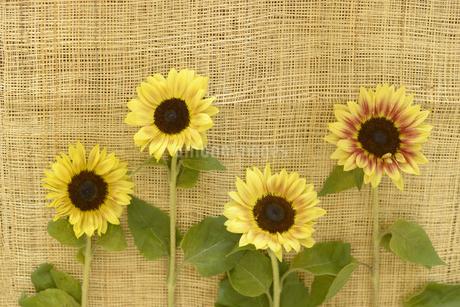 ヒマワリの花の写真素材 [FYI01261937]