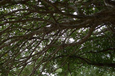 大木の枝と葉が天空を覆い尽くすの写真素材 [FYI01261940]