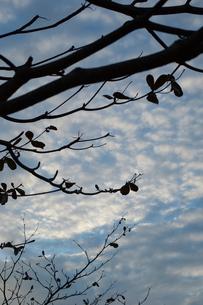 日が暮れそうな空とシルエットの木々の写真素材 [FYI01262224]