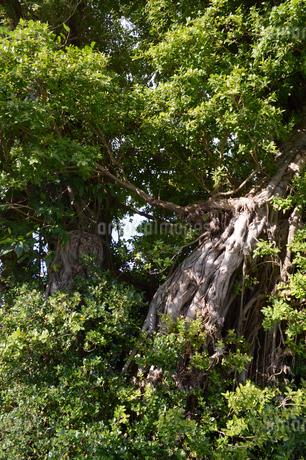 緑豊かなガジュマルの木の写真素材 [FYI01262242]