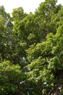 緑豊かなガジュマルの木の写真素材 [FYI01262248]