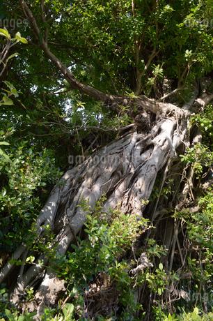 緑豊かなガジュマルの木の写真素材 [FYI01262250]