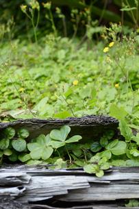 倒木の隙間に生えたクローバーの写真素材 [FYI01262281]