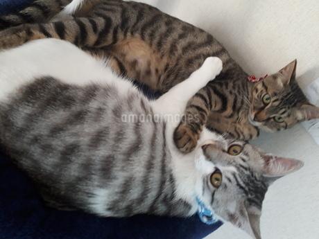 取っ組み合い?喧嘩?一緒に仲良く寝てる二匹の猫ちゃんの写真素材 [FYI01262326]