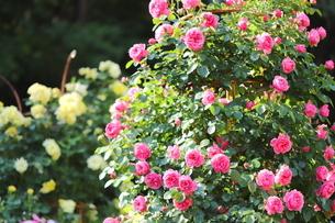 バラ園のピンクのバラの写真素材 [FYI01262333]