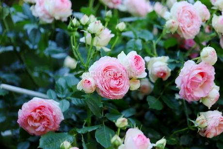 バラ園のピンク色のバラの写真素材 [FYI01262338]