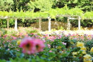バラ園のピンク色のバラの写真素材 [FYI01262340]