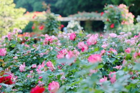 バラ園のピンク色のバラの写真素材 [FYI01262345]