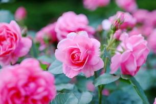 バラ園のピンク色のバラの写真素材 [FYI01262352]