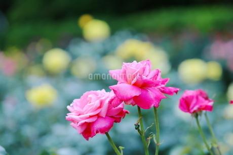 バラ園のピンク色のバラの写真素材 [FYI01262357]