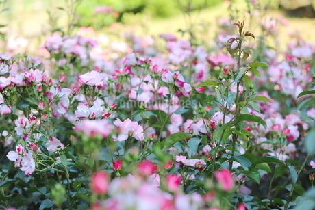 バラ園のピンク色のバラの写真素材 [FYI01262364]