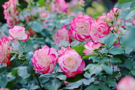 バラ園のピンク色のバラの写真素材 [FYI01262369]