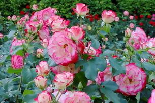 バラ園のピンク色のバラの写真素材 [FYI01262371]