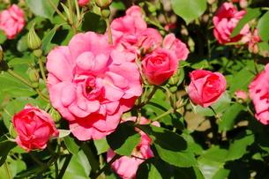バラ園のピンク色のバラの写真素材 [FYI01262376]