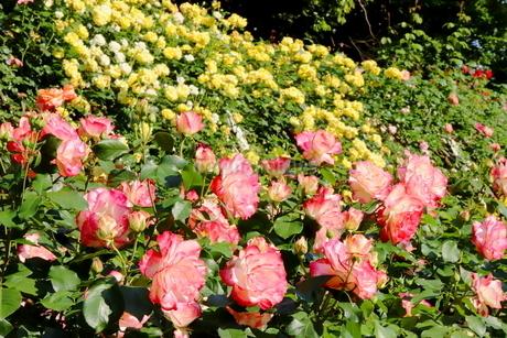 バラ園のピンク色のバラの写真素材 [FYI01262383]