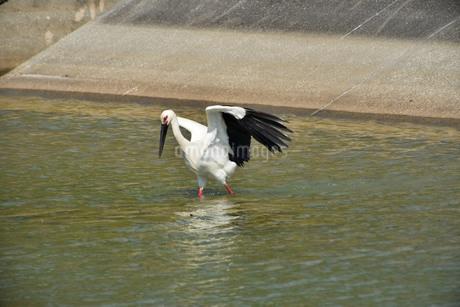 宮古島/コウノトリの写真素材 [FYI01262407]