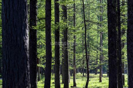 春のカラマツの森の写真素材 [FYI01262415]