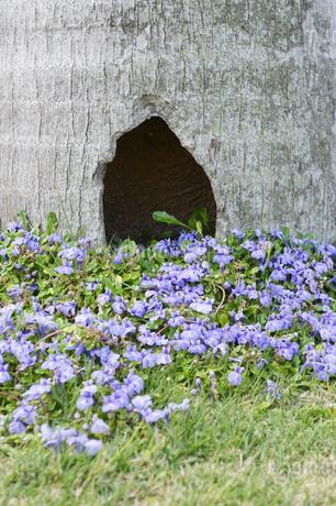 太い幹の周りに咲く紫の花の写真素材 [FYI01262450]