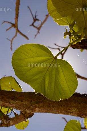 太陽の逆光に輝く南国の葉の写真素材 [FYI01262473]