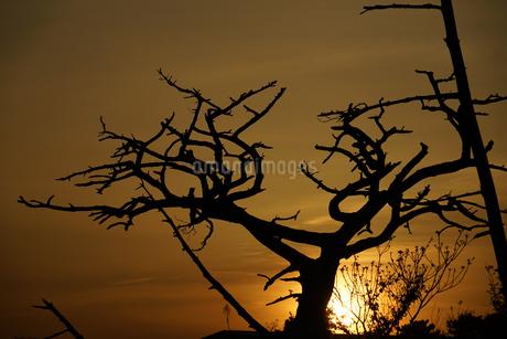 夕暮れと樹木のシルエットの写真素材 [FYI01262749]