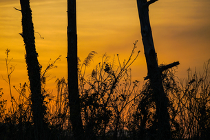 夕暮れと樹木のシルエットの写真素材 [FYI01262767]