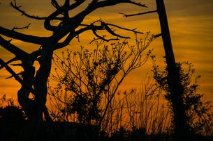 夕暮れと樹木のシルエットの写真素材 [FYI01262768]