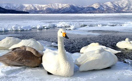 厳寒の北海道凍りつく屈斜路湖の写真素材 [FYI01262884]