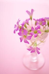 花かたばみの写真素材 [FYI01262931]