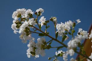 白く綺麗な花の写真素材 [FYI01263050]