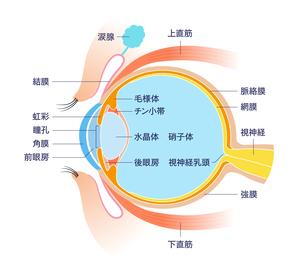 目 断面図 解剖学のイラスト素材 [FYI01263078]