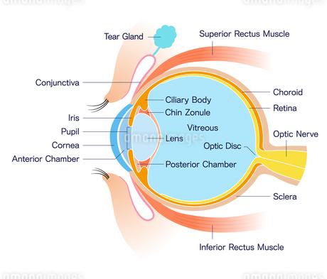 目 断面図 解剖学のイラスト素材 [FYI01263079]