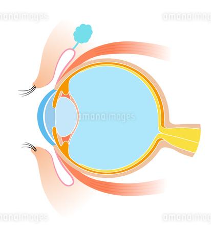目 断面図 解剖学のイラスト素材 [FYI01263080]