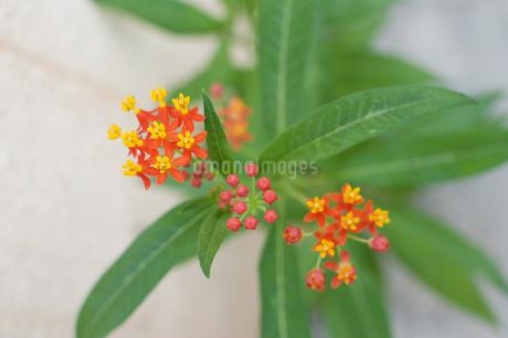 ランタナの花の写真素材 [FYI01263088]