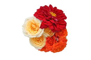 ダリアと薔薇の花束の写真素材 [FYI01263146]