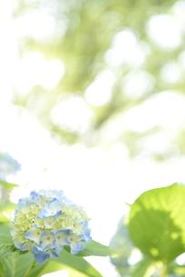 アジサイの花の写真素材 [FYI01263156]