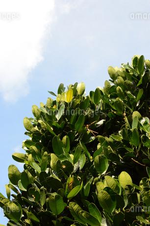 晴天の青空と南国のフクギの写真素材 [FYI01263213]