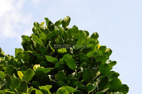 晴天の青空と南国のフクギの写真素材 [FYI01263214]