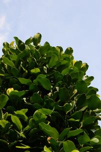 晴天の青空と南国のフクギの写真素材 [FYI01263215]