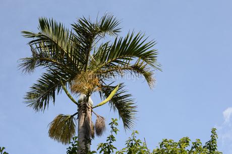 晴天の青空と南国のヤシの木の写真素材 [FYI01263229]