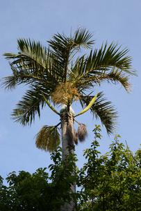 晴天の青空と南国のヤシの木の写真素材 [FYI01263236]