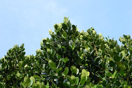 晴天の青空と南国のフクギの写真素材 [FYI01263279]