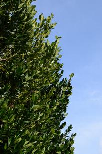 晴天の青空と南国のフクギの写真素材 [FYI01263285]