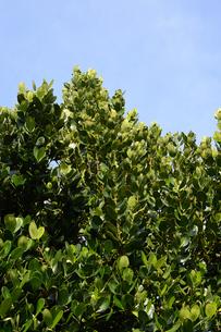 晴天の青空と南国のフクギの写真素材 [FYI01263290]