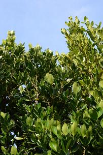 晴天の青空と南国のフクギの写真素材 [FYI01263296]