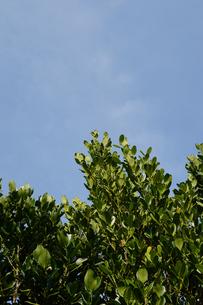 晴天の青空と南国のフクギの写真素材 [FYI01263301]