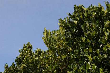 晴天の青空と南国のフクギの写真素材 [FYI01263307]