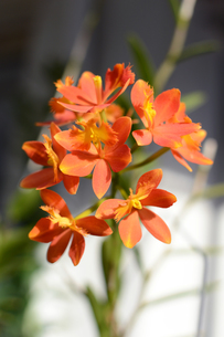 赤い可愛い花の写真素材 [FYI01263324]