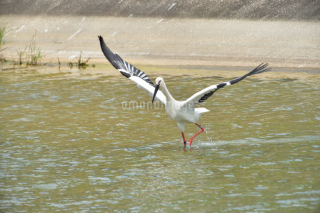 宮古島/コウノトリの写真素材 [FYI01263391]